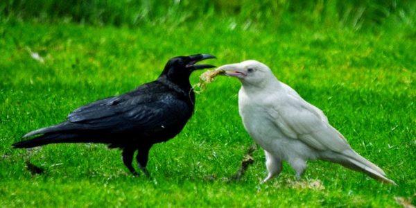 white raven picture